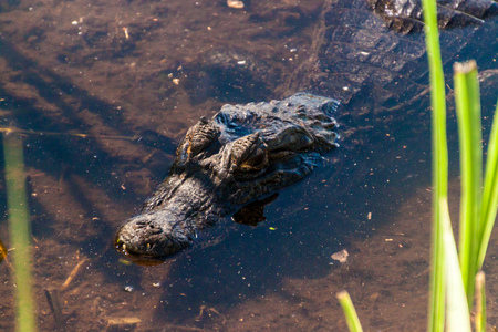 humid south: Yacare caiman (Caiman yacare)  in Esteros del Ibera, Argentina