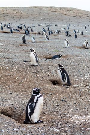 Penguin colony on Isla Magdalena island in Magellan Strait, Chile