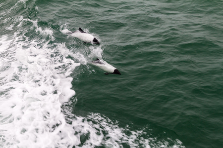 Commersons dolphin (Cephalorhynchus commersonii) in Magellan Strait, Chile