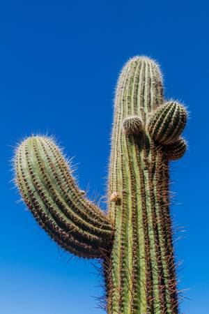 Big cardon cactus near Quilmes ruins, Argentina