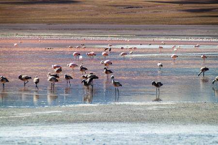 hued: Flamingos in red hued Laguna Colorada lake in Bolivia