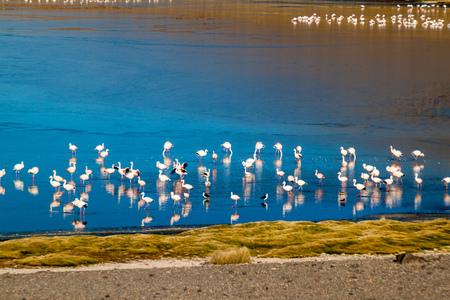 Flamingos in Laguna Collpa lake on bolivian Altiplano Stock Photo