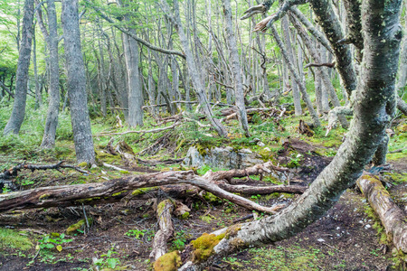 humid south: Forest in Tierra del Fuego, Argentina