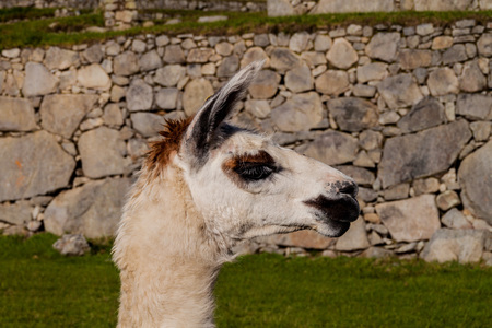 Head of lama. Ancient wall of Machu Picchu ruins in the background, Peru. Stock Photo