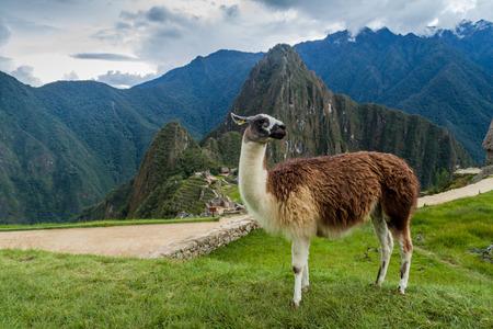Lama at Machu Picchu ruins, Peru