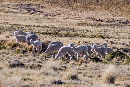 aguada: Lamas in Reserva Nacional Salinas y Aguada Blanca reserve, Peru Stock Photo