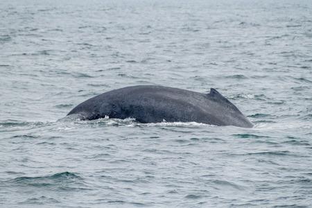 megaptera novaeangliae: The humpback whale (Megaptera novaeangliae)  in Machalilla National Park, Ecuador Stock Photo