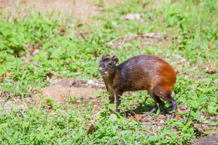 agouti: Agouti at Ile Royale, one of the islands of Iles du Salut (Islands of Salvation) in French Guiana Stock Photo