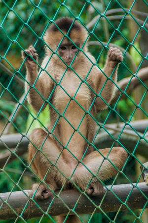 cage gorilla: Capuchin monkey in Amazon Animal Orphanage Pilpintuwasi in village Padre Cocha near Iquitos, Peru