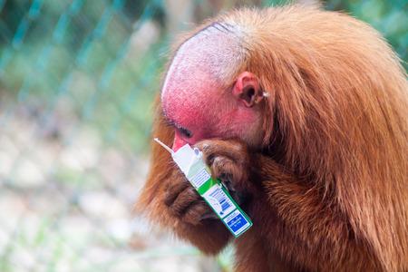 PADRE COCHA, PERU - JUNE 19, 2015: The bald uakari monkey (Cacajao calvus) eats stolen cigarettes in Amazon Animal Orphanage Pilpintuwasi in village Padre Cocha near Iquitos, Peru