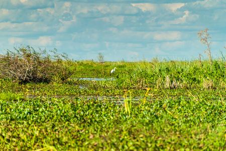 Great egret (Ardea alba) in Esteros del Ibera, Argentina