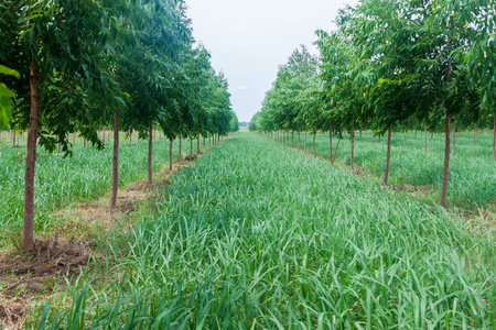 Eukalyptus-Plantage in der Nähe von Coronel Bogado Stadt, Paraguay