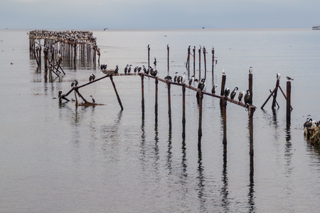 Cormorants on an old pier in Punta Arenas, Chile