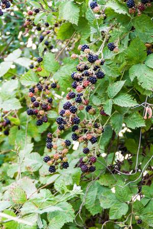Blackberry bush near Frutillar village, Chile Stock Photo