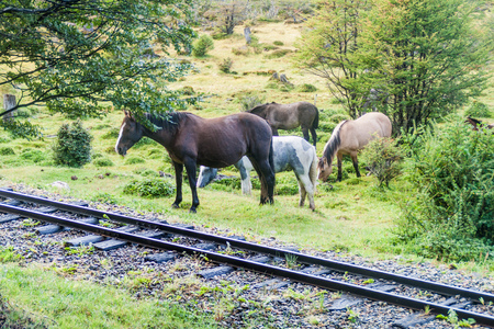 Horses and a railway in National Park Tierra del Fuego, Argentina