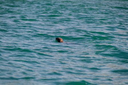 Sea otter in protected area Monumento Nacional Islotes de Punihuil on Chiloe island, Chile