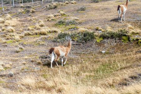 tierra del fuego: Lamas in Tierra del Fuego, Chile
