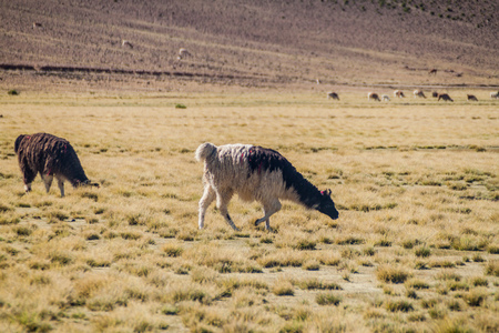 Herd of lamas (alpacas) in Aguanapampa area at bolivian Altiplano