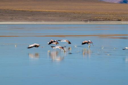 avaroa: There is plenty of flamingos living in Laguna Collpa lake in Reserva Nacional de Fauna Andina Eduardo Avaroa protected area, Bolivia