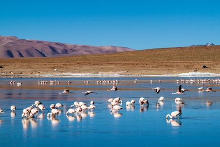 There is plenty of flamingos living in Laguna Collpa lake in Reserva Nacional de Fauna Andina Eduardo Avaroa protected area, Bolivia