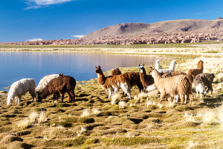 Herd of lamas (alpacas) grazing by a lake on bolivian Altiplano