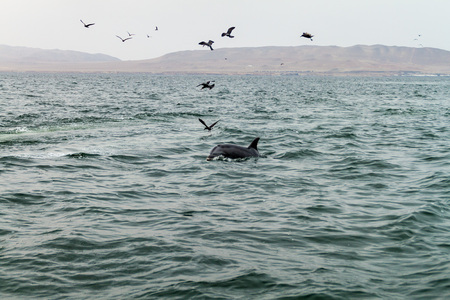 Pilot whale at the Ballestas Islands in the Paracas National park, Peru.