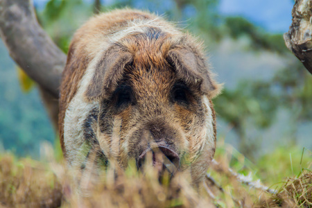 dwelling: Pig by a rural dwelling near Leymebamba village in northern Peru Stock Photo