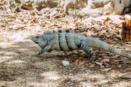 Black Iguana at the Mayan archeological site Chichen Itza, Mexico Stock Photo