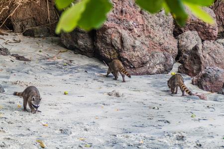 raccoons: Crab-eating raccoons (Procyon cancrivorus) in National Park Manuel Antonio, Costa Rica