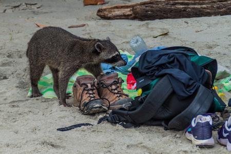 MANUEL ANTONIO, COSTA RICA - MAY 13, 2016: Crab-eating raccoon (Procyon cancrivorus) steals a food from tourists in National Park Manuel Antonio, Costa Rica Editorial