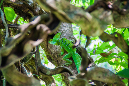 Plumed basilisk (Basiliscus plumifrons), also called a green basilisk in a forest near La Fortuna, Costa Rica Stock Photo