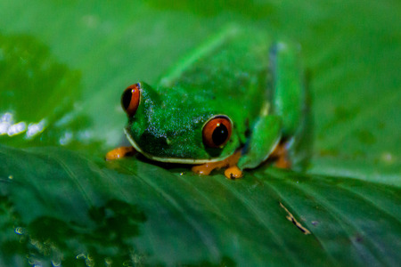 Red-eyed tree frog (Agalychnis callidryas) in a forest near Tortuguero, Costa Rica