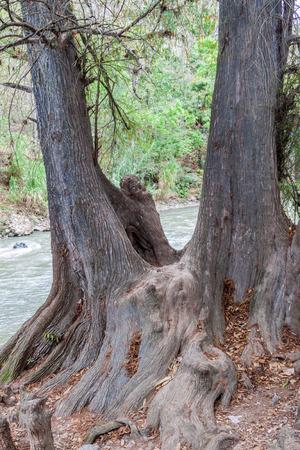 Rio Azur river and Montezuma cypress (Taxodium mucronatum), Guatemala Stock Photo