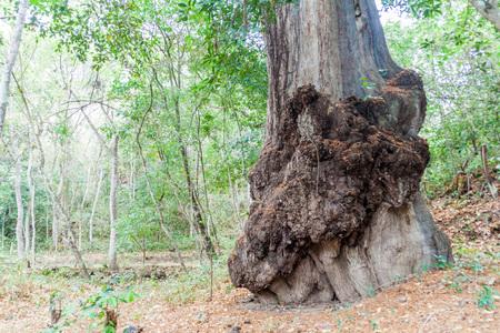 Montezuma cypress (Taxodium mucronatum), Guatemala