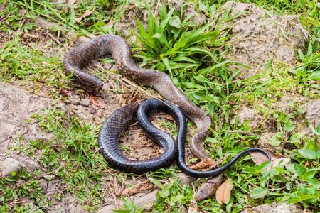 Indigo snake (Drymarchon corais) killed by a machete, Guatemala
