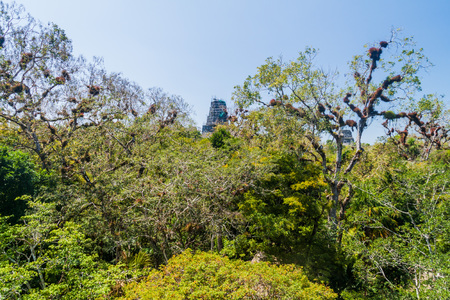 Temple ruins behind the tall trees in the National Park Tikal, Guatemala