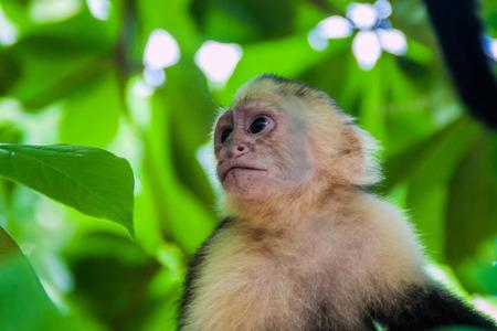 White-headed capuchin monkey (Cebus capucinus) in National Park Manuel Antonio, Costa Rica
