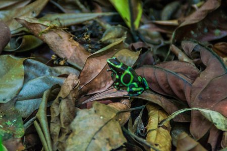 dendrobates: Green-and-black poison dart frog (Dendrobates auratus) in National Park Manuel Antonio, Costa Rica Stock Photo
