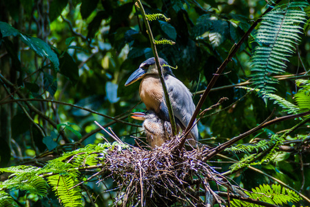 Boat-billed heron (Cochlearius cochlearius) with an offsrping in a forest near La Fortuna, Costa Rica