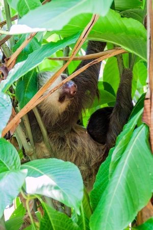 sloth: Two-toed sloth with an offspring in a forest near La Fortuna village, Costa Rica