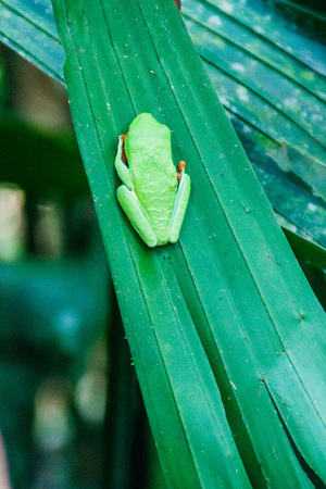 Red-eyed tree frog (Agalychnis callidryas) in a forest near La Fortuna, Costa Rica Stock Photo