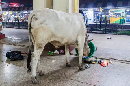 VARANASI, INDIA: Cow eats trash at a platform of Varanasi Junction railway station, India