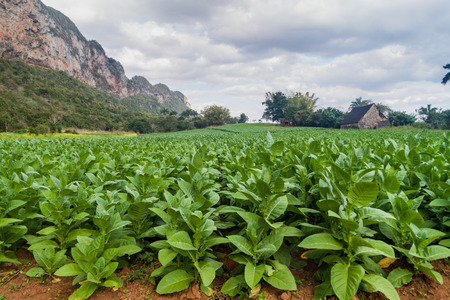 Tobacco field and drying house near Vinales, Cuba