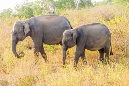 Group of Sri Lankan elephants (Elephas maximus maximus) in Uda Walawe National Park, Sri Lanka