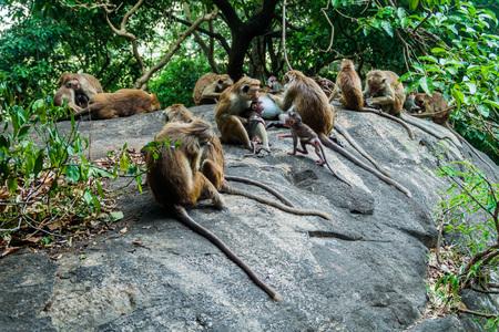 Macaques near Dambulla cave temple, Sri Lanka 版權商用圖片 - 92605833