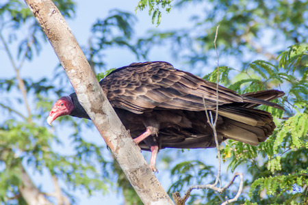 Turkey vulture (Cathartes aura) Stock Photo