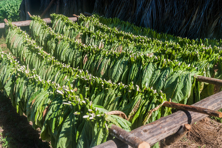 Drying tobacco leaves in Vinales valley, Cuba