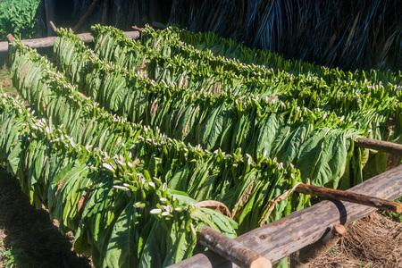 Drying tobacco leaves in Vinales valley, Cuba