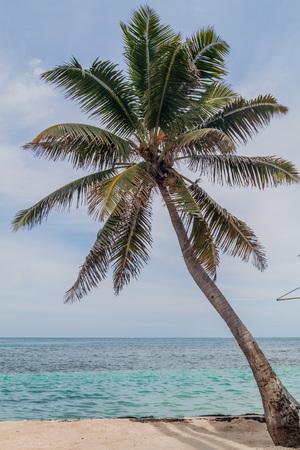 Palm at a beach in Caye Caulker village, Belize Stock Photo