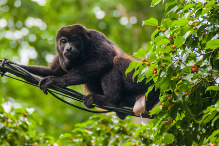 Howler monkey peeing on a cable in Cahuita National Park, Costa Rica